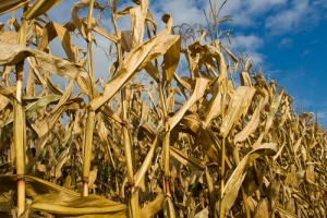 Crop yields are diminishing